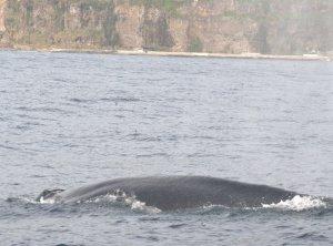 Brydewal, bryde's whale, baleia tropical