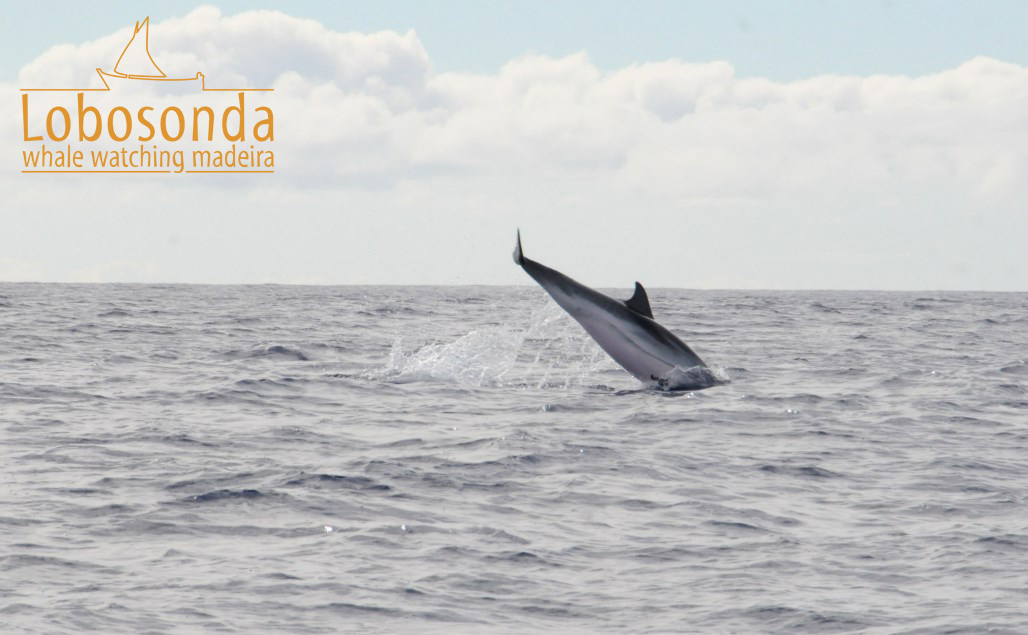 Lobosonda\'s Blog | Madeira whale watching | Page 27